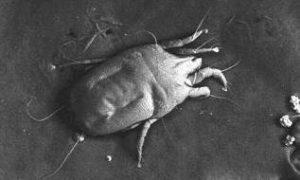 dust-mite-2